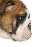 Close-up van een Engels profiel van het Buldogpuppy, 3.5 maanden oud royalty-vrije stock fotografie