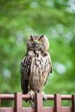 Close-up van een Europees-Aziatische adelaar-Uil Royalty-vrije Stock Afbeeldingen