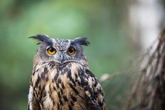 Close-up van een Europees-Aziatische adelaar-Uil Stock Fotografie
