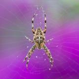 Close-up van een Europese Kruisspin bij purpere achtergrond Royalty-vrije Stock Foto's