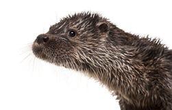 Close-up van een Europese otter, Lutra-geïsoleerde lutra, Stock Afbeeldingen