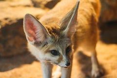 Close-up van een fennecvos in de dierentuin van Stuttgart stock foto's