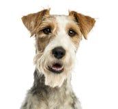 Close-up van een Fox-terrier die, geïsoleerd hijgen, onder ogen zien Royalty-vrije Stock Afbeeldingen
