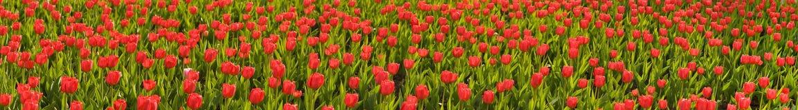 Close-up van een gebied met rode tulpen Stock Foto's