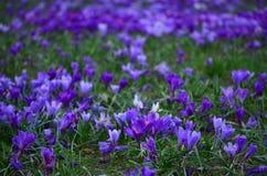 Close-up van een gebied van violette krokussen en groen gras stock afbeelding