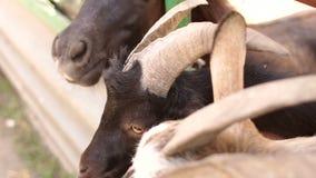 Close-up van een geit en een paard op een landbouwbedrijf stock video