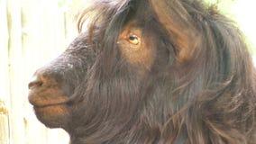 Close-up van een geit` s hoofd stock video