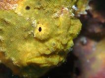 Close-up van een gele longlure frogfish op een purpere spons, Bonaire, Nederlandse Antillen royalty-vrije stock afbeeldingen
