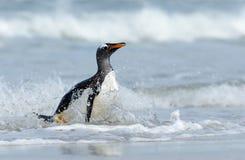 Close-up van een Gentoo-pinguïn die in het oceaanwater bespatten royalty-vrije stock afbeelding