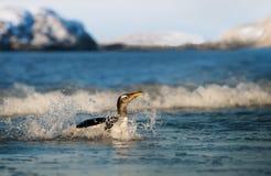 Close-up van een Gentoo-pingu?n die in het oceaanwater bespatten stock fotografie