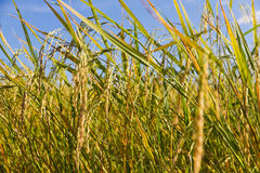 Close-up van een gouden groen padieveld Stock Fotografie