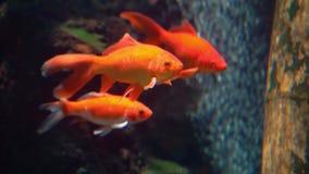 Close-up van een groep goudvissen in de aquarium, gemeenschappelijke en populaire zoetwaterhuisdieren, tropische specie van Azië stock video