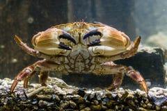 Close-up van een grote eetbare bruine krab die over de bodem, marien het levensportret lopen stock fotografie
