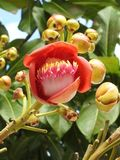 Close-up van een guianensis van de bloemcouroupita van de kanonskogelboom, een exuberant bloem, met knoppen stock afbeeldingen