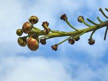 Close-up van een guianensis van de takcouroupita van de kanonskogelboom, met knoppen wordt gevuld die stock afbeeldingen