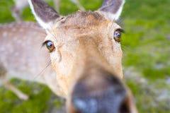 Close-up van een hert die in de lens kijken royalty-vrije stock afbeeldingen
