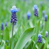 Close-up van een het bloeien muscari Muscarigebied De lente Vierkant formaat stock fotografie