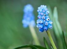 Close-up van een het bloeien muscari Muscarigebied De lente Vierkant formaat stock foto