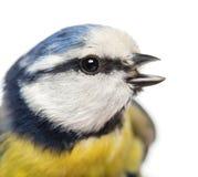 Close-up van een het tjirpen Blauwe Mees, Cyanistes-caeruleus Stock Foto