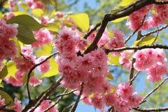 close-up van een het tot bloei komen makreelgeep Royalty-vrije Stock Afbeeldingen