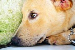 Close-up van een hond Stock Afbeelding