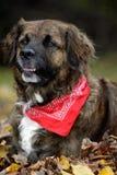 Close-up van een hond Leonberger Stock Fotografie