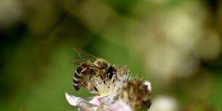 Close-up van een honingbij die nectar verzamelen Royalty-vrije Stock Fotografie