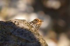 Close-up van een honingbij drinkwater van een steen stock foto's