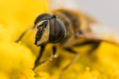 Close-up van een hoverfly, syrphidae royalty-vrije stock foto's