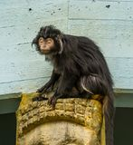 Close-up van een javan lutungaap, tropische primaat van het Eiland van Java Indonesië, kwetsbare dierlijke specie stock foto's
