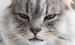 Close-up van een jong gestreept katachtig gezicht grijze slaperige kat Een huisdier royalty-vrije stock foto's
