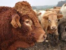 Close-up van een jonge stier Royalty-vrije Stock Foto