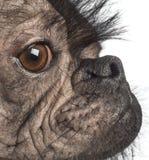 Close-up van een Kale hond van het mengen-Ras, mengeling tussen een Franse buldog en een Chinese kuifhond Stock Afbeeldingen