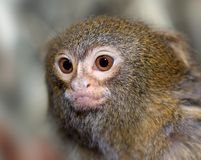 Close-up van een kleine aap stock fotografie