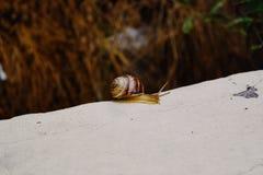 Close-up van een kleine slak met bruine shell wordt geschoten die op het uiteinde van een steen glijden die royalty-vrije stock fotografie