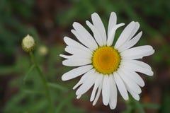 Close-up van een kleine wilde chrysant royalty-vrije stock afbeeldingen