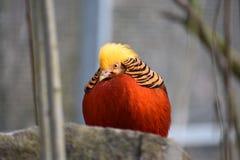 Close-up van een kleurrijke gouden fazantzitting op een steen in een park in Kassel, Duitsland stock fotografie