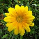 Close-up van een knop van gele Gazania Zuidafrikaanse Kamille royalty-vrije stock fotografie