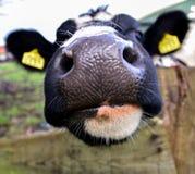 Close-up van een een koeienneus en gezicht royalty-vrije stock afbeelding