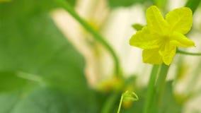 Close-up van een komkommerwijnstok bloeiende komkommer, 4k, slow-motion close-up, stock video