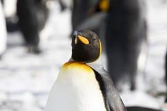 Close-up van een Koning Penguin in de Vlakte van Salisbury op Zuid-Georgië royalty-vrije stock foto's
