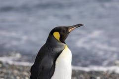 Close-up van een Koning Penguin in de Vlakte van Salisbury op Zuid-Georgië royalty-vrije stock afbeelding
