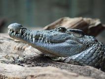 Close-up van een krokodil royalty-vrije stock foto