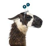 Close-up van een Lama die een hoofdband dragen stock foto