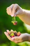 Close-up van een landbouwers` s hand die een verse rode aardbei houden Stock Foto's