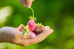 Close-up van een landbouwers` s hand die een verse rode aardbei houden Royalty-vrije Stock Afbeelding