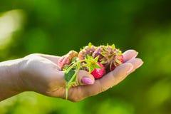 Close-up van een landbouwers` s hand die een verse rode strawberr houden Royalty-vrije Stock Afbeeldingen