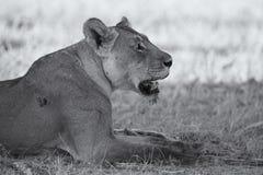 Close-up van een leeuwin die liggen om op de zachte Kalahari te rusten sa Stock Afbeeldingen