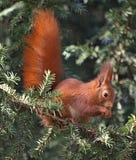 Close-up van een leuke eekhoorn op een boom royalty-vrije stock fotografie