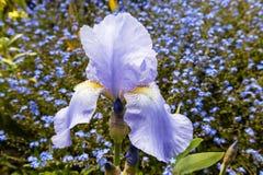 Close-up van een lichtblauwe irisbloem Stock Fotografie